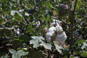 Cotton plant close up