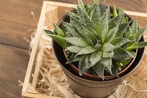 Top view of cactus on wooden table. Decor.