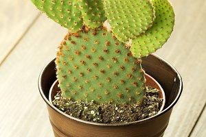 Cactus on wooden table. Vertical studio shot.