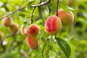 Peaches on a tree