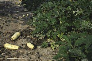 Zucchini field