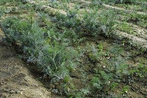 Green dill field
