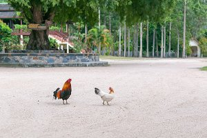 Chicken family in Thai temple