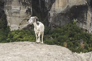 Goat climbs rocks