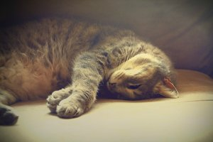 Gray Tabby Cat Sleeping on Sofa
