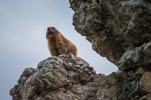 Marmot in the Dolomites