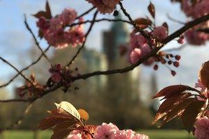 City cherry blossom
