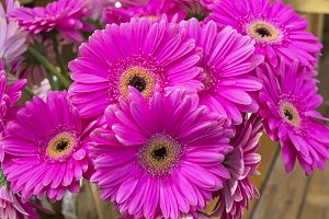 Bright purple gerberas