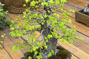 Chinese Elm - Bonsai