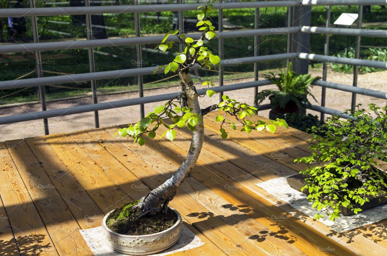 Silver Birch Bonsai Featuring Bonsai Birch And Betula Pendula High Quality Nature Stock Photos Creative Market