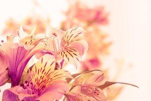 Pink alstroemeria isolated