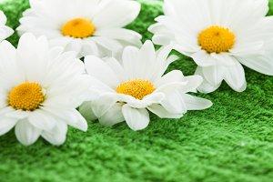 Chamomile on green