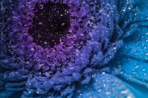 Blue gerbera
