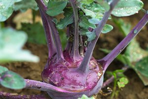 Kohlrabi in the garden