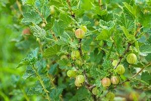 Bush of gooseberry