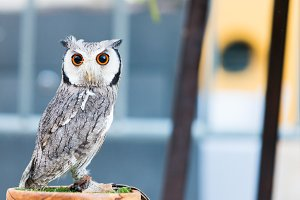 young Spotted Owl