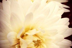 Romantic and suggestive dahlias