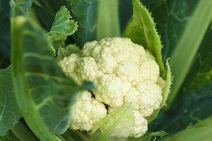 Cauliflower in the garden