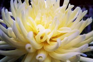 Romantic and suggestive dahlia