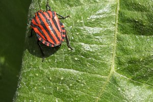 Red bed bug on a green leaf