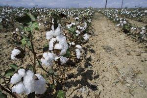 Cotton plants field