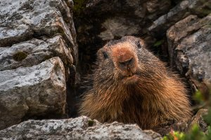 Marmot looking out from his lair