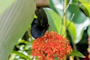 Exotic Butterfly on flowers, beautiful butterfly and flower in the garden of tropical Bali island. Close Up butterfly on flower.