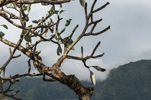 Lonely tree on a mountain background. Tropical Bali island, Indonesia.
