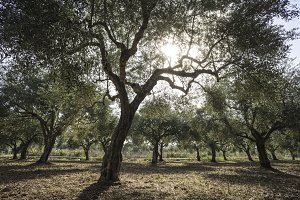 Olive trees and sun rays