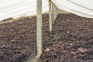 Drying grapes for raisins
