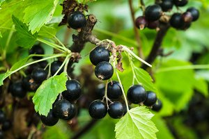 Blackcurrant bush
