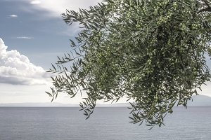 Olive tree on the beach