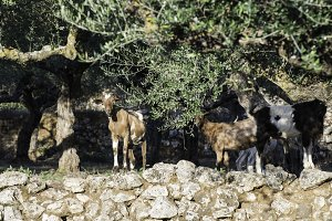 Tame goats among the olive trees