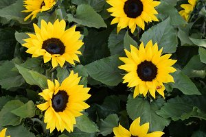 Helianthus Sunflowers