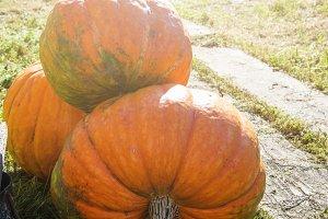 Big orange pumpkin
