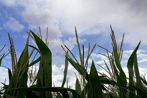 Field of corn in bloom