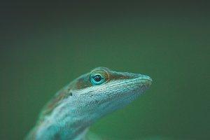 Lizard Macro 2