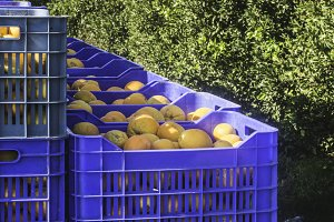 Crates with oranges