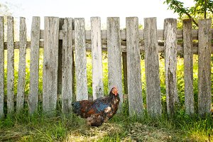 Cock walking near fence