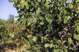 Pistachio tree branch