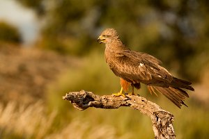 Adult black kite on a branch