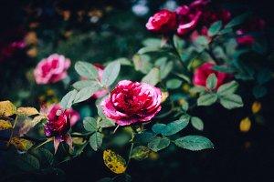 Floral Red Roses Blooming Rosebush