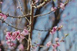 Wild Peach Flowers