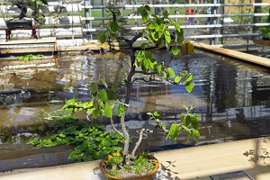Canadian serviceberry- Bonsai