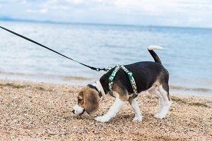 Beagle on an ocean beach of tropical Bali, Indonesia.