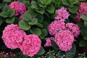 Hydrangea Pink Flowers