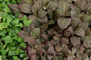Nerve Plant Leaves