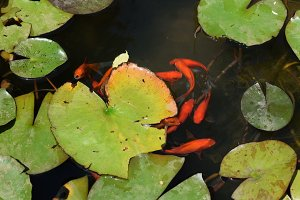 Red Fish Pond