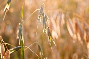 Oat in the field
