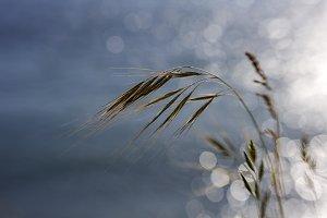 Grasses and Bokeh